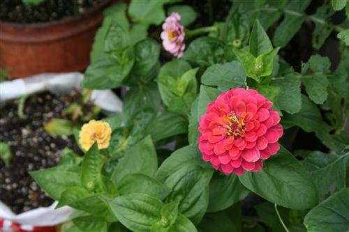 Hさん赤花満開 001_R.jpg