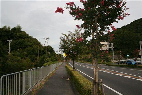 洲本バイパスサルスベリ 006_R.jpg