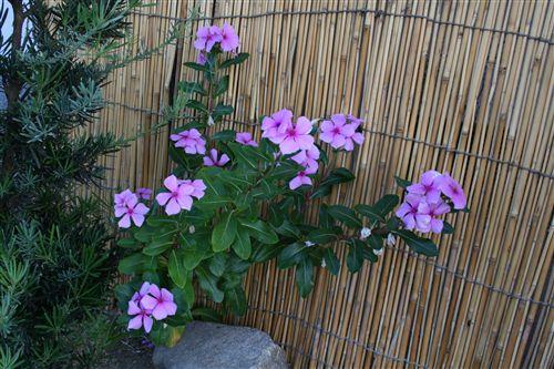 庭のピンク花_R.jpg