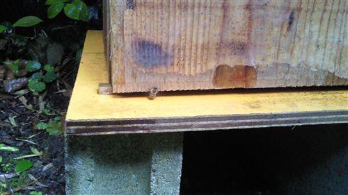 スケさんの蜜蜂_R.jpg