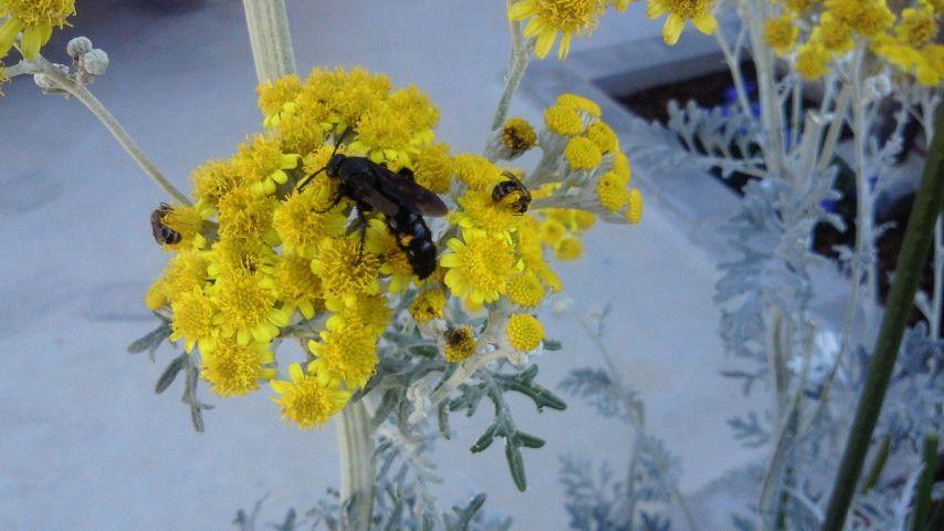 カモミールの蜂たち_R.jpg