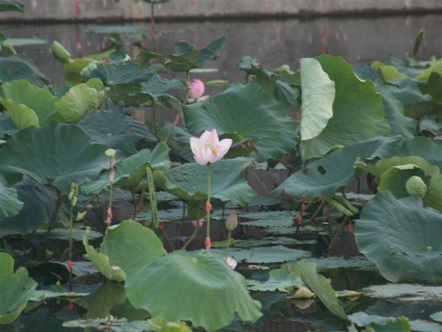 ミノコシ池の蓮_R.jpg