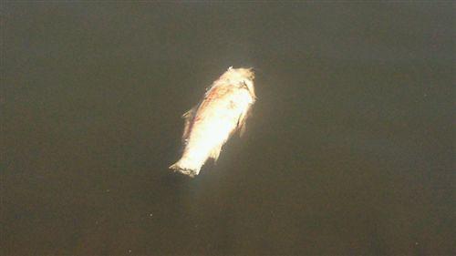 20110戸田の鯉死_R.jpg
