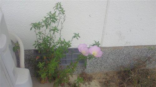 20110702根性花_R.jpg
