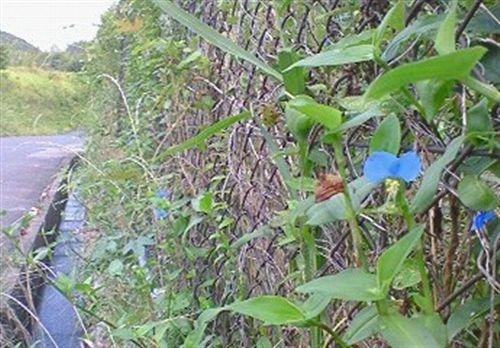 金網の紫露草 004_R.jpg