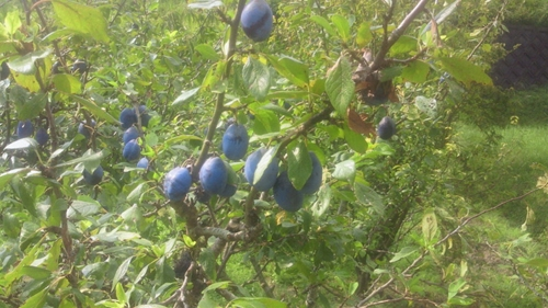 201209ブルーベリー2_R.jpg