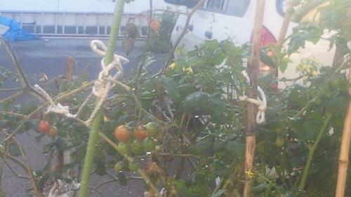 20121016トマトアップ_R.jpg