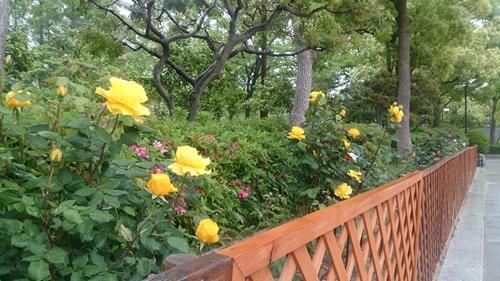 神戸のバラ (2)_R.jpg
