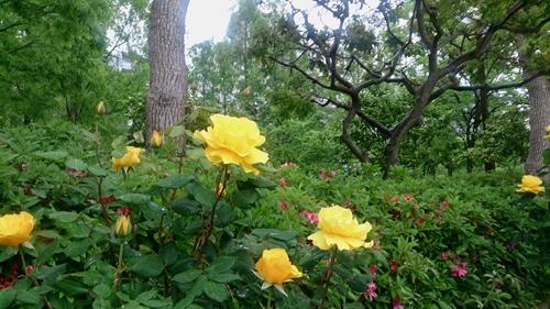 神戸のバラ (1)_R.jpg