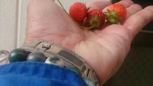 イチゴ収穫_R.jpg