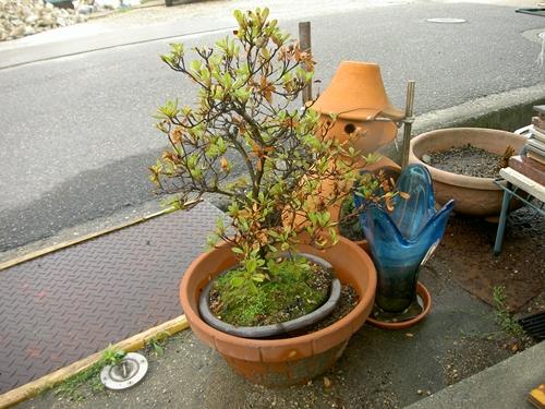 サツキ無残_R.JPG