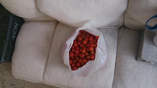 プチトマト豊作_R.jpg
