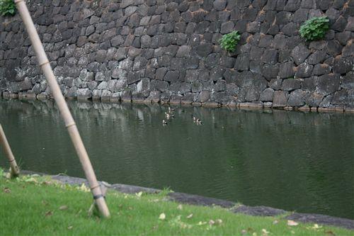 2008全日本、皇居桜田門の鴨_R.jpg