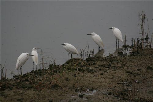 10月洲本川の白鷺一族 001_R.jpg