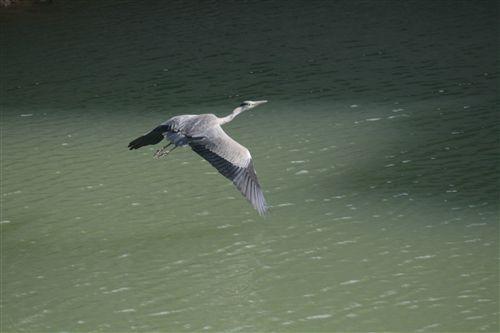 10月上堺の蒼鷺飛ぶ 001_R.jpg