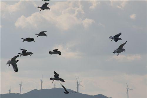 五色浜のカモメ&風力発電 005_R.jpg