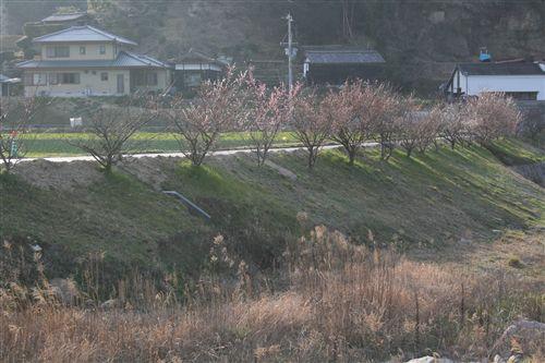 鮎原吉田都志川現場の桜、梅_R.jpg